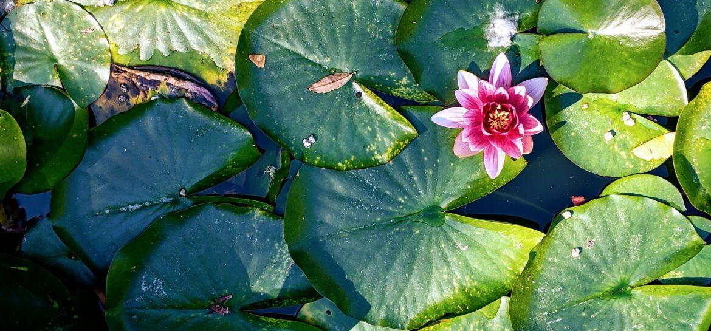 flor de loto lotus